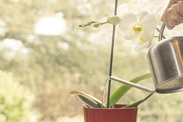 Как поливать орхидею с помощью лейки