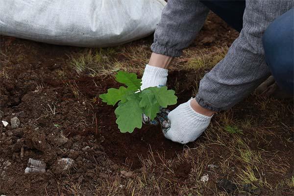 Как правильно посадить дуб на постоянное место