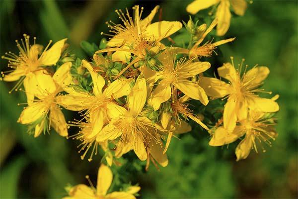 Лечебные свойства травы зверобоя