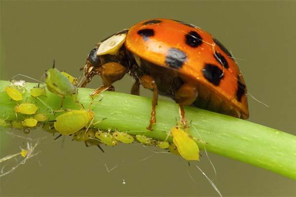 Полезные насекомые и животные в борьбе с тлей