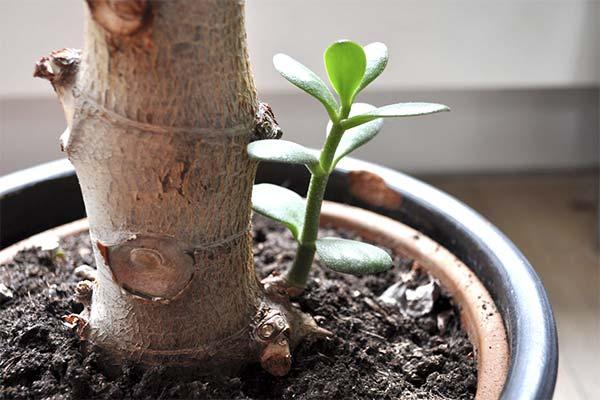 Размножение денежного дерева