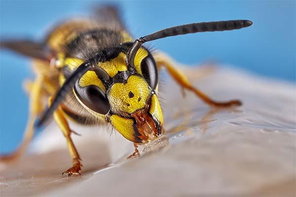 Секреты осы