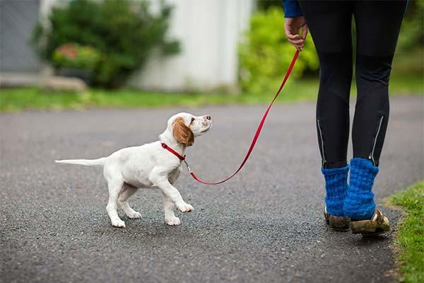 Сколько раз в день следует выводить щенка на улицу
