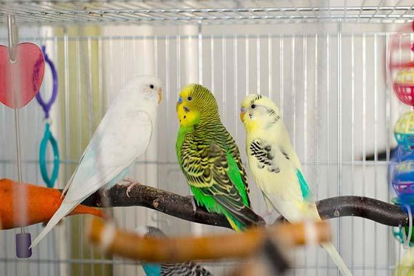 Жердочки для волнистого попугая