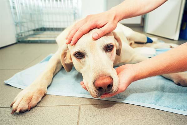Как вытащить занозу у собаки