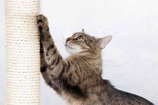 Особенности приучения к когтеточке взрослых кошек и котов